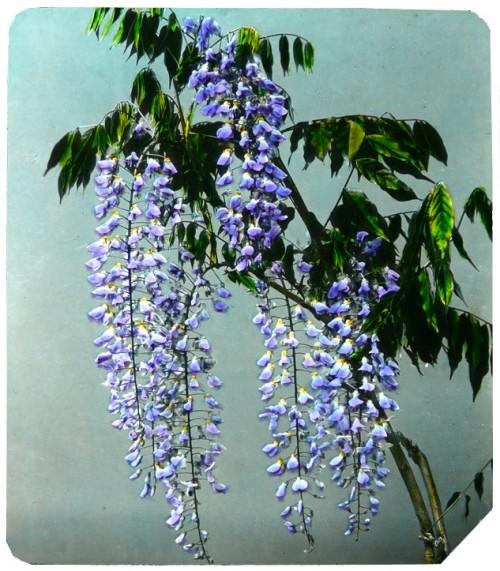 glycines,wisteria,japon,okinawa soba,plaque émaillée de villa